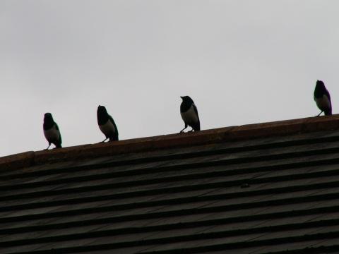 4 gazze su un tetto a Dublino